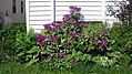 Beautiful Purple Rhododendron (8397947015).jpg