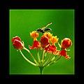 Bee in Marcodede.jpg