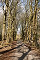 Beech Avenue in Downwards Plantation, Longwood - geograph.org.uk - 1186953.jpg