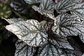 Begonia (29).jpg