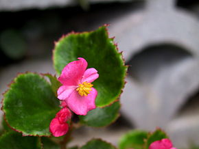 Description de l'image Begonia_semperflorens.jpg.