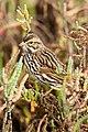 Belding's Savannah sparrow (adult) (6797859257).jpg
