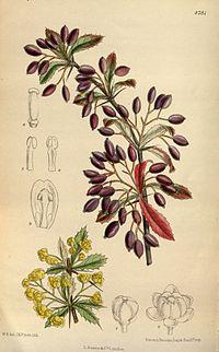 Berberis beaniana 144-8781