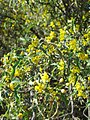 Berberis harrisoniana 002.jpg