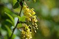 Berberis vulgaris (7103334625).jpg
