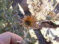 Berkheya carlinopsis magalismontana03.jpg