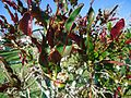 Bermuda (UK) image number 248 plant with flowers.jpg