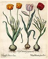 Besler H.E. tulipa 2.jpg