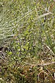 Betula nana, Mouthe - img 34163.jpg