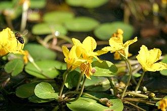 Flora of Azerbaijan - Nymphoides peltata