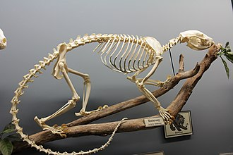 Binturong (Arctictis binturong) on display at the Museum of Osteology Binturong skeleton.jpg