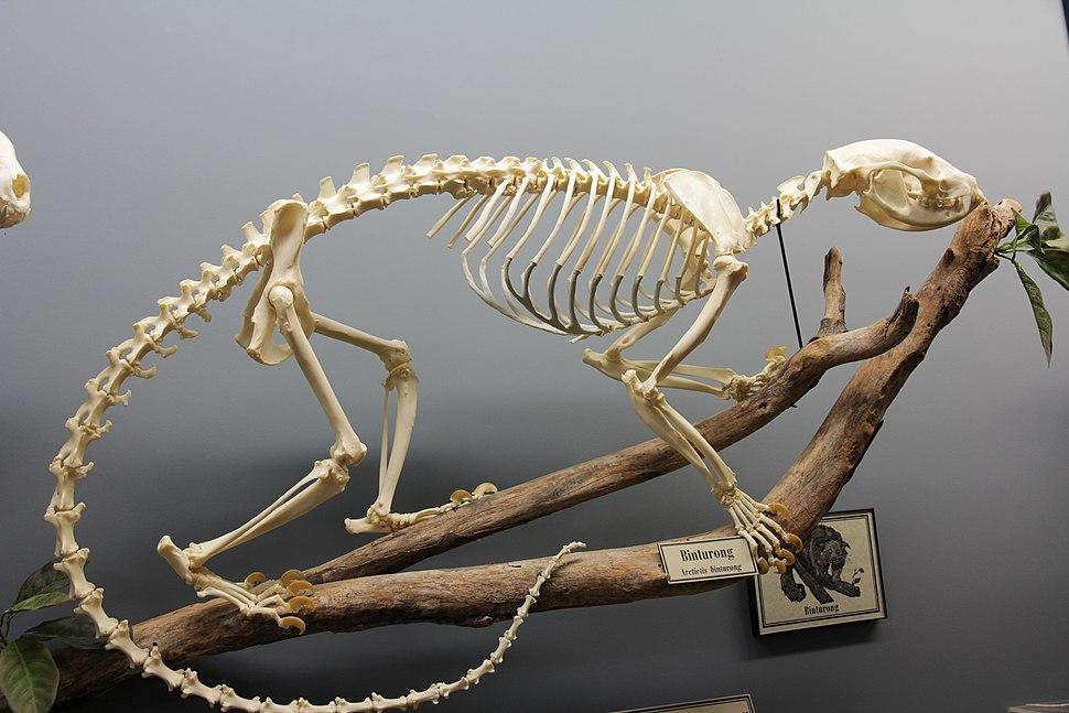 Binturong skeleton