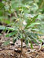 Biophytum reinwardtii at Kadavoor.jpg