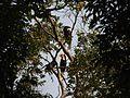 Bird Wreathed Hornbill Rhyticeros undulatus IMG 9195 (26).jpg