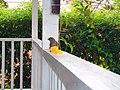 Birds of Barbados 000.jpg