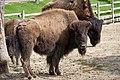 Bison bison - 03.jpg
