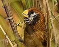 Black-breasted Parrotbill AMSM1523.jpg