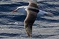 Black-browed Albatross (36414464002).jpg