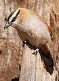 Black-crowned Tchagra, Tchagra senegala at Rietvlei Nature Reserve, Gauteng, South Africa (14898352559).jpg