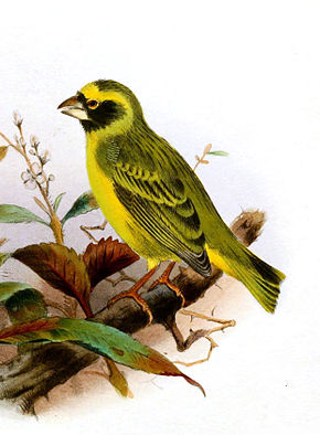 Description de l'image Black-faced Canary (Crithagra capistrata) by Henrik Grönvold.jpg.
