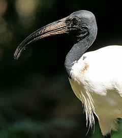 Black-headed Ibis (Threskiornis melanocephalus) W IMG 1436.jpg