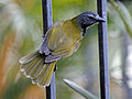 Black-headed Saltator RWD7.jpg