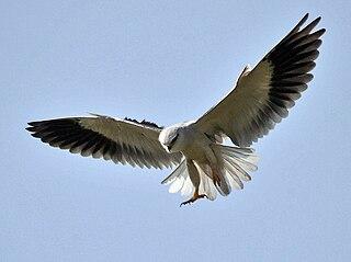 Black-winged kite Raptor native to Eurasia