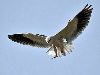 Black-winged kite - Hovering (Hyderabad, India)