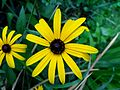 Black Eyed Susan (8784384453).jpg