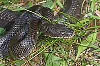 Black Rat Snake - Elaphe obsoleta obsoleta, Merrimac Farm Wildlife Management Area, Virginia.jpg