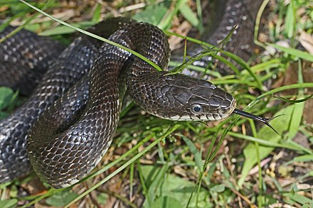 Pantherophis obsoletus - Wikiwand