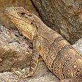 Black Spiny-tailed Iguana (16604208206).jpg
