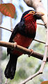 Black and red Barbet.jpg