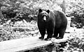 Black bear standing on wooden walkway, Snohomish County, Washington, ca 1920 (WASTATE 13).jpeg