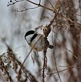 Black capped chickadee getting to the sugar from the goldenrod's gall (30987440604).jpg