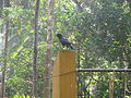 Black crow (2).JPG