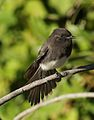 Black phoebe, Sayornis nigricans, along the Guadalupe River in Santa Clara, California, USA (30653895580).jpg