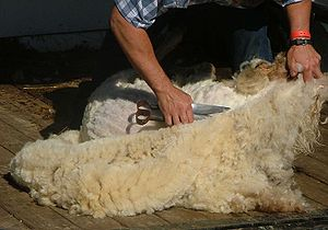 Animals in culture - A sheep being shorn of its fleece with traditional blade shears