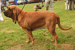 Bloodhound (Chien de Saint-Hubert)