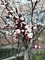 Blooming apricot.jpg
