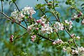 Blossoming Apple Tree Branches PLT-FL-AB-5.jpg