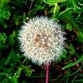 Blowball - Flickr - Stiller Beobachter.jpg