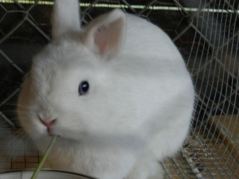 Dwarf Bunnies For Sale In Manhattan Beach Ca