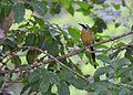 Blue-crowned Motmot (24522185394).jpg