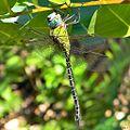 Blue-faced Darner (Coryphaeschna adnexa).jpg