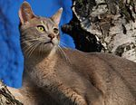 Blue Colored Abyssinian