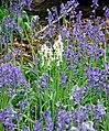 Bluebells (Hyacinthoides non-scripta) - geograph.org.uk - 1282556.jpg