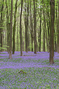 Bluebells Micheldever Woods.jpg