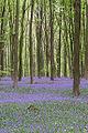 Bluebells Micheldever Woods.jpg