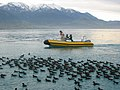 Boat with Hutton's shearwaters.jpg